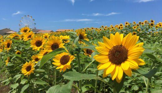 ソレイユの丘ひまわりの開花状況2021見頃はいつまで?所要時間は?